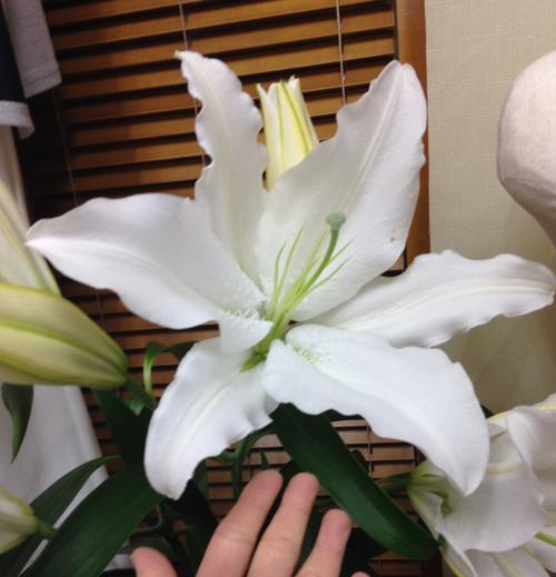 おおきな百合のお花