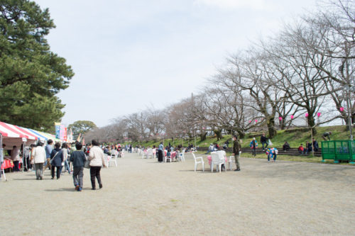 金比羅山の桜はまだ3部咲くでしょうか?