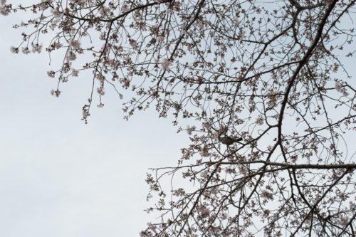 金比羅山の桜2