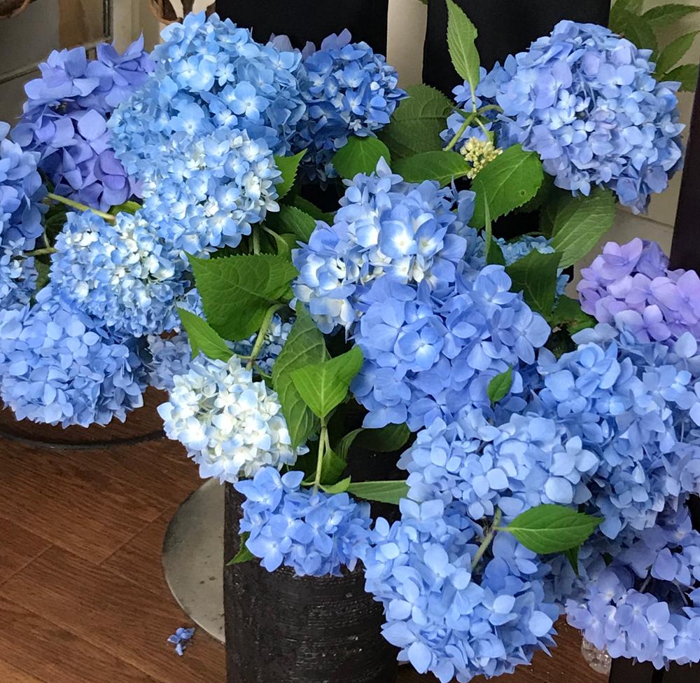 アジサイの切り花が長持ちしています。