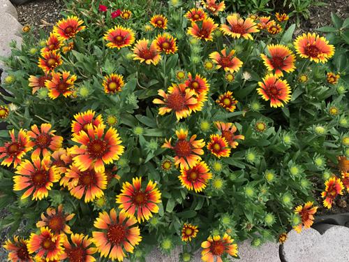 ガイラルディアのお花が満開です