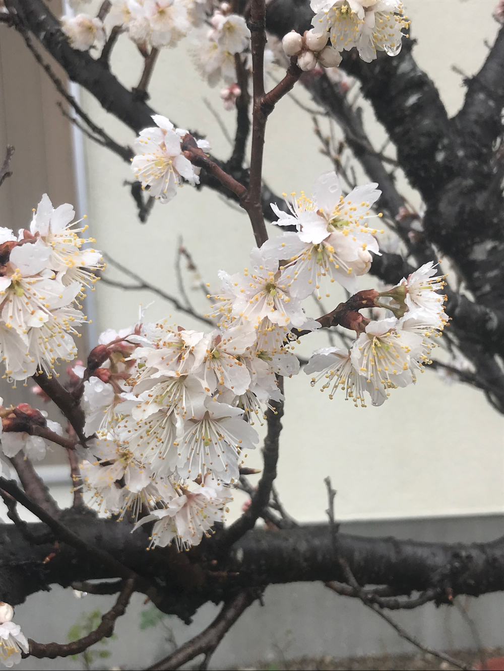 ご近所さんのサクランボの花