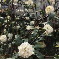 良い香りの沈丁花の花