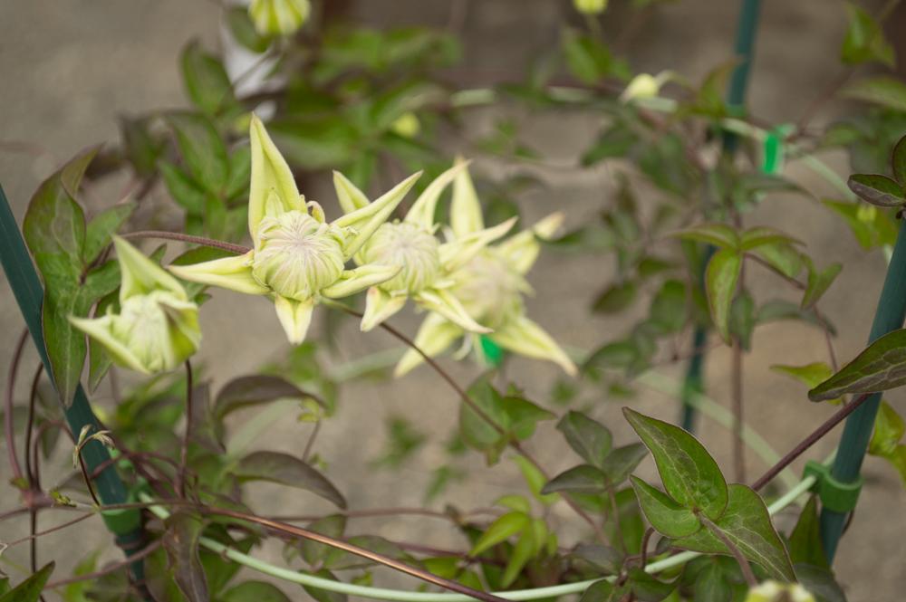 クレマチス白万重の最初の花の形