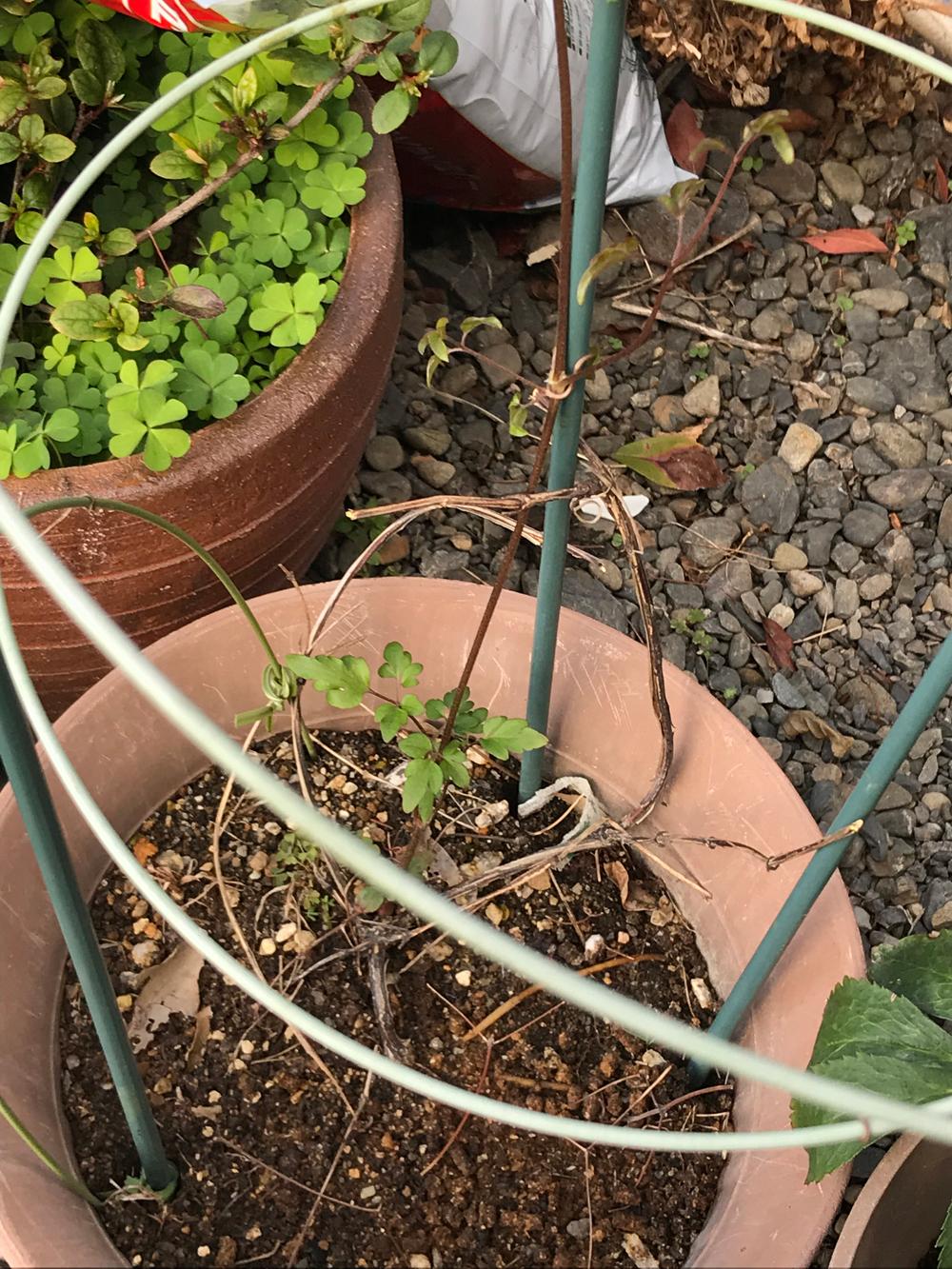 クレマチス白万重今年も新芽が出てきました。