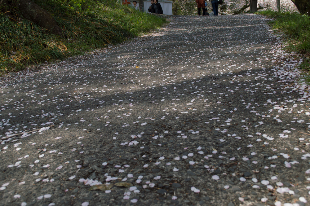 散って地面は桜の花びらで満開