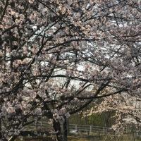 保健センター近くの桜が満開でした。