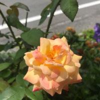 初めて咲いたバラの花。
