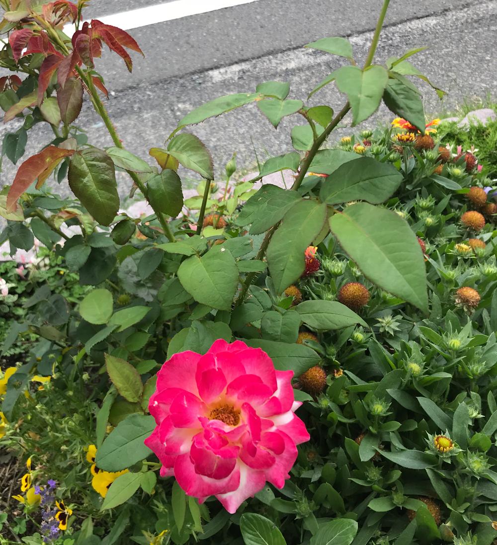 色が変わるバラ